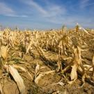 Crop damaged by drought